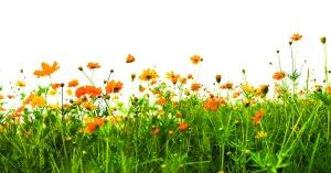 FlowersOrangeIsolated_9068900_l