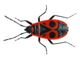 InsectFirebug