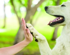 21657548 - give me five - dog pressing his paw against a woman hand