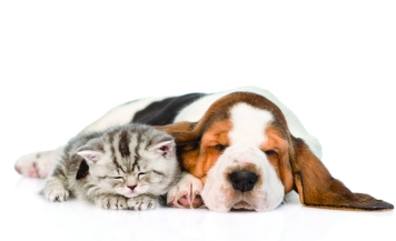 42914208 - kitten and puppy sleeping together. isolated on white background